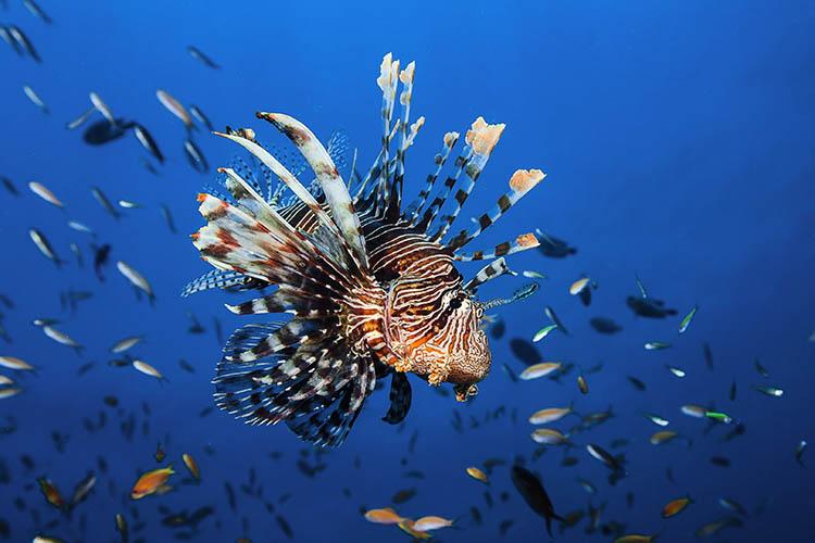 Photo of an invasive florida lionfish.