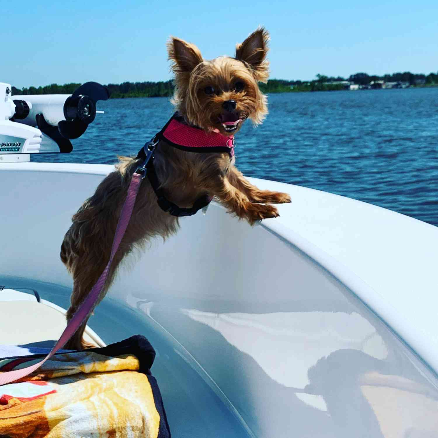 Title: Yorkie Catching Some Rays - On board their Sportsman Island Reef 19 Center Console - Location: Washington NC. Participating in the Photo Contest #SportsmanMay2020